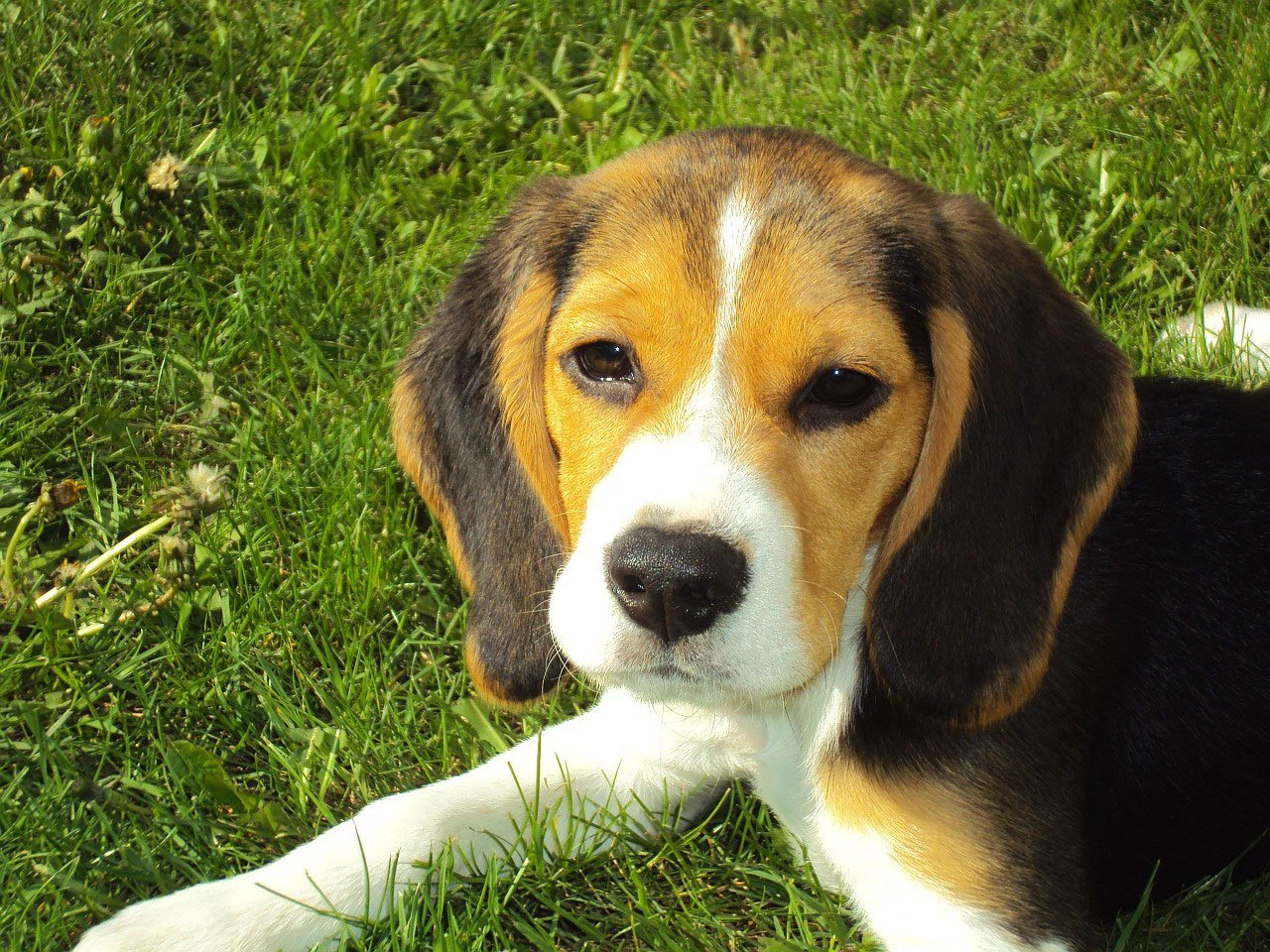 Beagle History, Origin, Information, Appearance