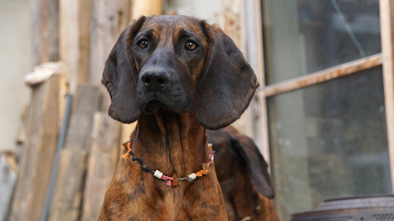 Bloodhound Dog Info