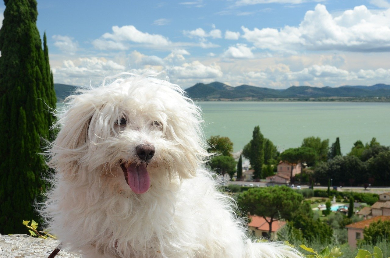 Bolognese Dog Breed, Bichon Bolognese