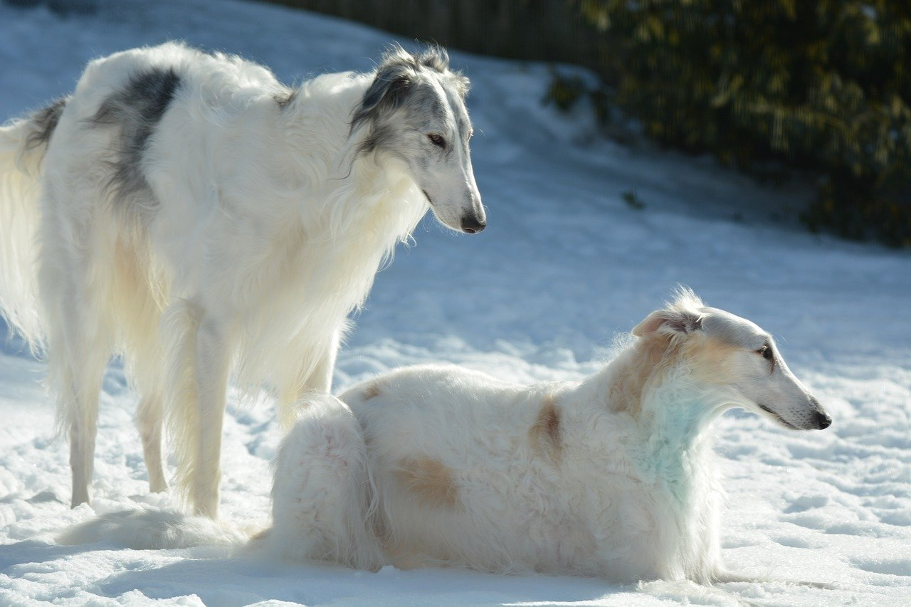 Borzoi Dog Info, Origin, Appearance
