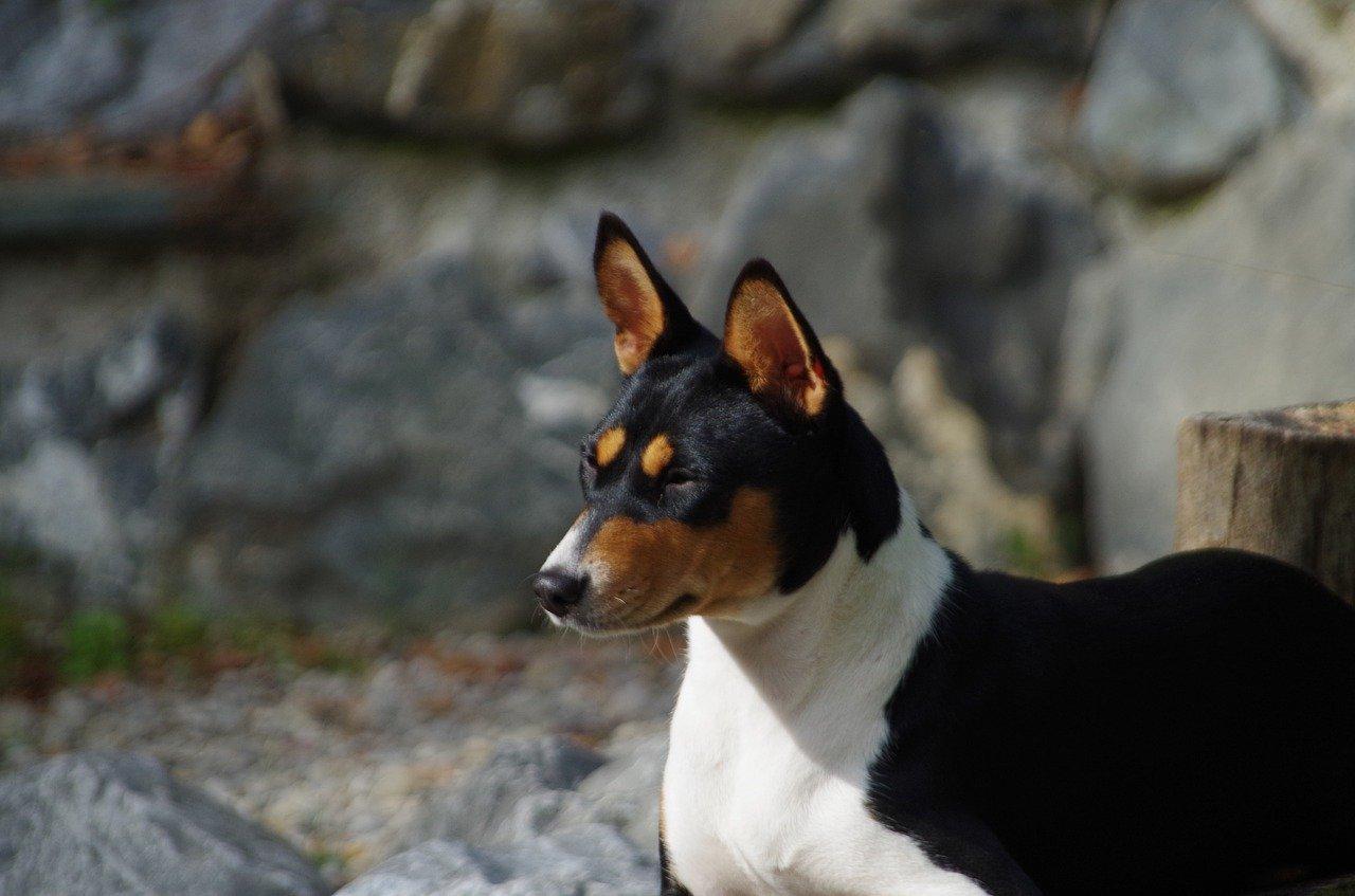 Basenji Dog, Congo Dog, Zande Dog