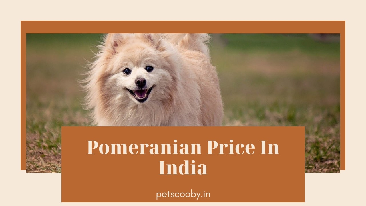 Pomeraninan price in india