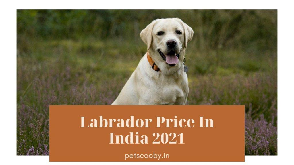 Labrador Price In India 2021