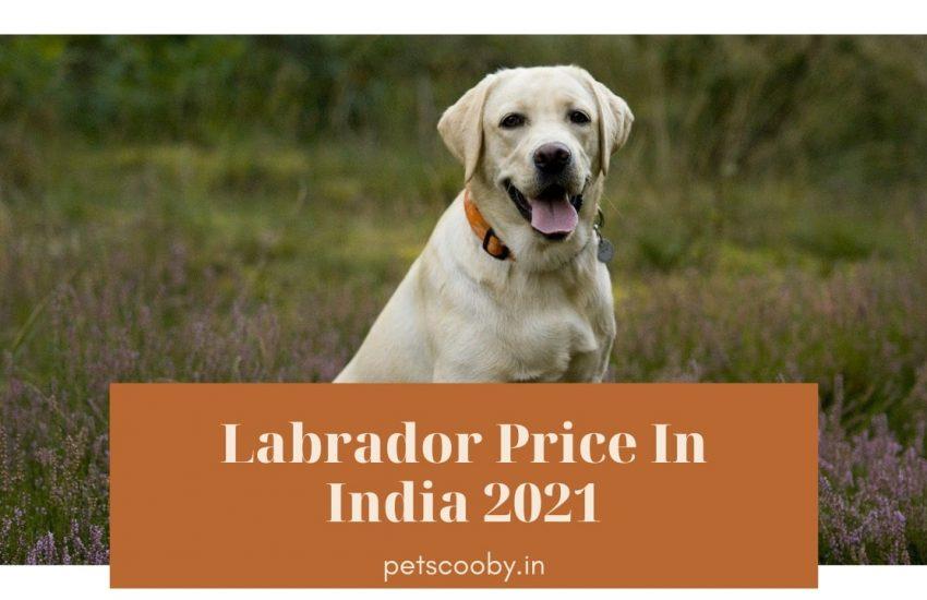Labrador price in india